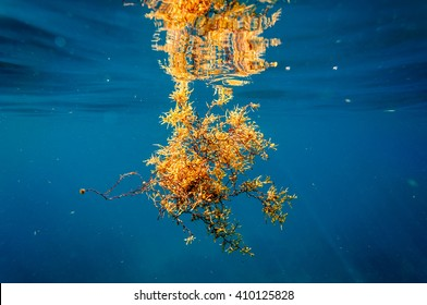 Phaeophyceae: Sargassum seaweed underwater with reflection at the surface
