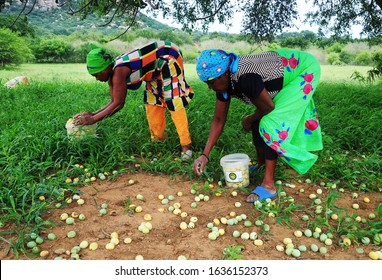 Phalaborwa, Limpopo, RSA - January 2020 Esther Nxumalo and Joyce Mhangani collect marula fruit to process and ferment into a potent drink which the