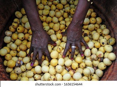 Phalaborwa, Limpopo, RSA - January 2020 - Linah Mathebula checks out the marula fruit she stores in a drum in her backyard
