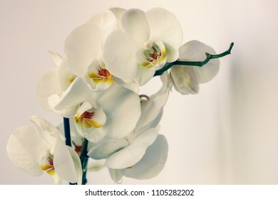 Phalaenopsis aphrodite. Seven flowers of a white orchid on a light background with a shadow