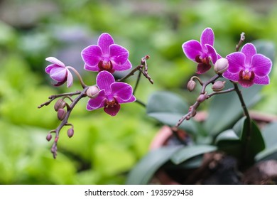Phalaenopsis Blume (1825), Phalaenopsis Blume mini, this flower is smaller than the size of a normal moth orchid. With leaves only 15-20cm long, 5-8cm wide