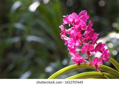 Phalaenopsis commonly known as moth orchids, hu die lan shu