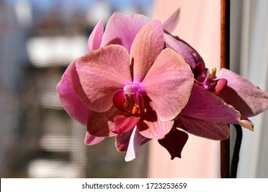 Phalaenopsis commonly known as moth orchids or Moth dendrobium, plant in the family Orchidaceae. Beautiful purple Phalaenopsis orchid blossom, flower closeup