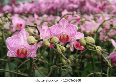 Phalaenopsis flower and orchids plant in the farm