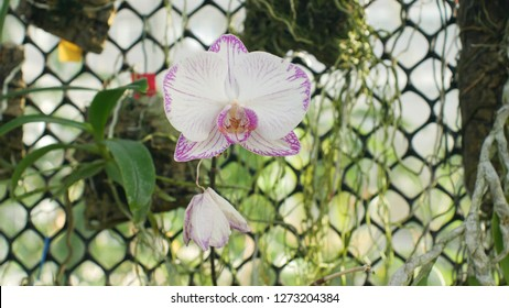 Phalaenopsis moth orchid white pink or Phal, the genus Phalaenopsis bloom plant flower, development of many artificial hybrids, predominantly epiphytic, naturally Asia, grown in a greenhouse