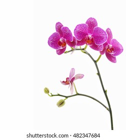 phalaenopsis orchid branch isolated
