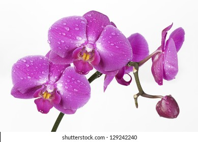 Phalaenopsis Orchid in drops of dew on a white background