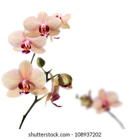 Phalaenopsis orchid; flower branch with buds
