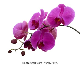 Phalaenopsis orchid flowers, isolated on white background