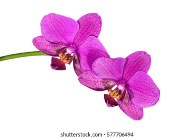 Phalaenopsis orchid flowers isolated on white background