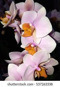 Phalaenopsis, orchid, Multi, Tulcan