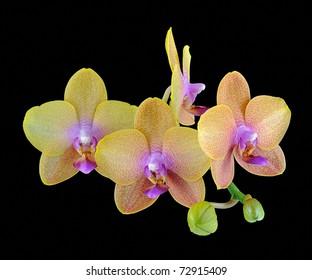 Phalaenopsis Orchid (Orchidaceae)
