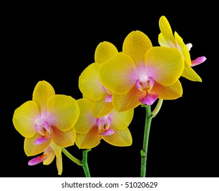 """Phalaenopsis Orchid orchidaceae """"black background"""" exotic stunning colourful unique flower plant floral bloom"""