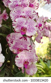 Phalaenopsis Orchid, pink spotted.