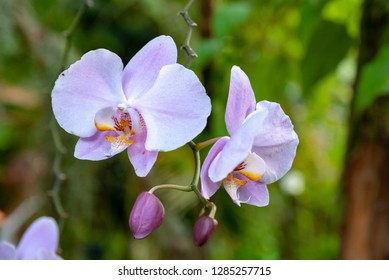 Phalaenopsis orchid in a tropical garden