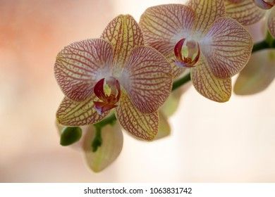 A Phalaenopsis Orchid, yellow and pink, stripe