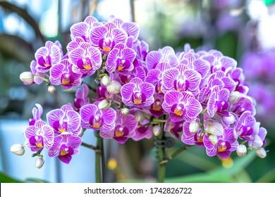 Las orquídeas de falaenopsis florecen en primavera adornando la belleza de la naturaleza, una orquídea salvaje poco común decorada en jardines tropicales