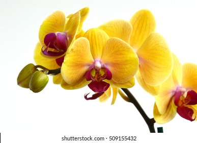 Phalaenopsis Orchids (Moth Orchids) They  are used as household plants. Yellow Phalaenopsis Orchids on white background.