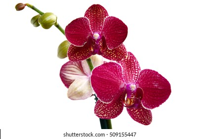 Phalaenopsis Orchids (Moth Orchids) They  are used as household plants. red Phalaenopsis Orchids on white background.