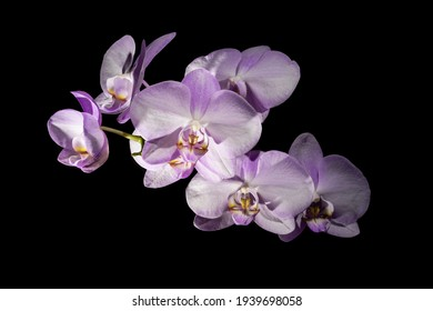 Phalaenopsis sanderiana orchid isolated on black. Blooming moth orchids branch with light pink flower petals with black background.