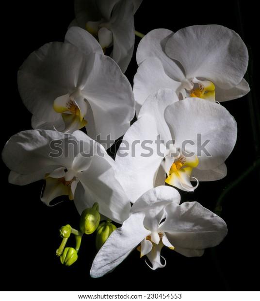 Phalaenopsis. White beautiful orchid on black background