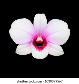 Phalaenopsis , White-pink orchid flower isolated. with clipping path