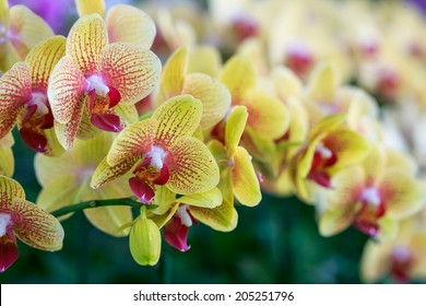 Phalaenopsis yellow red stripe x hybrid Orchid flower bloom with soft focus and blur background