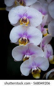 Phalanxes orchid hybrid of pop single. The combination of orchid in order to get new varieties.