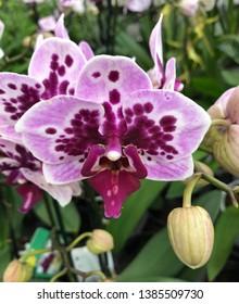 Phalen Rembrand flower orchid closeup