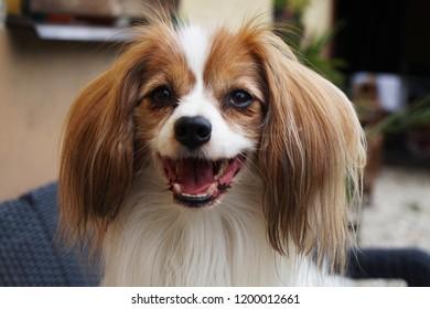phalene dog portrait as nice smart animal