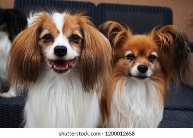phalene and papillon dog portrait as nice smart animal
