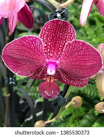 Phalenopsis Herzform orchid flower closeup