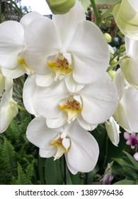 Phalenopsis white flower orchid closeup