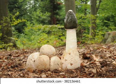 Phallus impudicus, known colloquially as the common stinkhorn