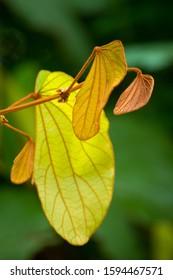 Phanera aureifolia, Bauhinia aureifolia or Gold leaf Bauhinia is a rare vine.