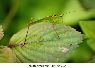 Phaneroptera nigroantennata, a katydid found in South China.