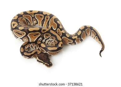 phantom ball python (Python regius) isolated on white background.