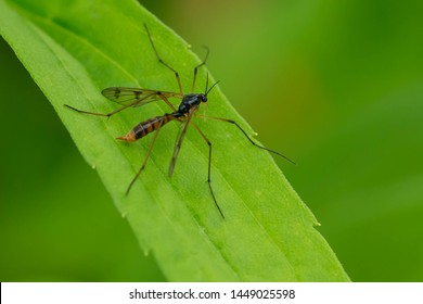 A Phantom Crane Fly is resting on a green leaf. Colloquially known as a Mosquito Hawk. Taylor Creek Park, Toronto, Ontario, Canada.