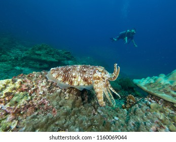Pharao Cuttlefish, holding 2 tentacles up, with a diver in the background