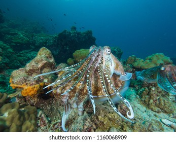 Pharao Cuttlefish mating on a coral reef