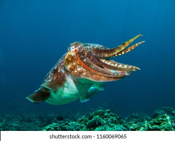 Pharao Cuttlefish on a coral reef