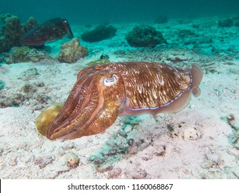 Pharao Cuttlefish on the sandy bottom of a coral lagoon