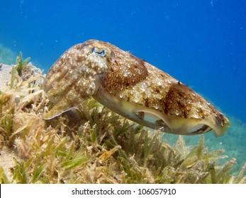 Pharao cuttlefish (Sepia paharonis)