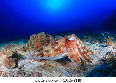 Pharaoh cuttlefish at dawn on a tropical coral reef