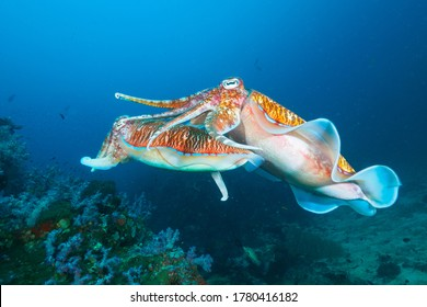 Pharaoh cuttlefish mating at the coral reef