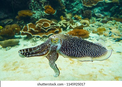 Pharaoh Cuttlefish Swim in Glass Tank Decorated with Coral Reef Sand and Rock to be an Under Water World
