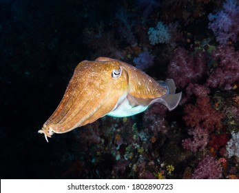 Pharaoh cuttlefish swimming in the coral reef
