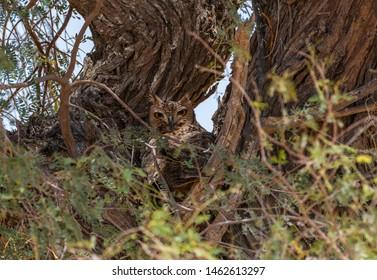 Pharaoh eagle owl sitting between the branch, abudhabi, uae