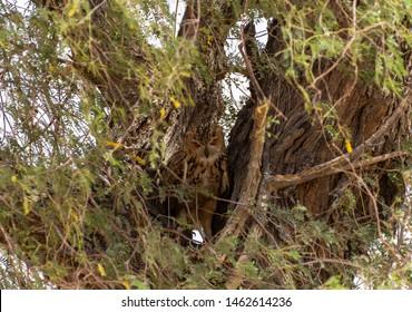 Pharaoh eagle-owl danger look, abudhabi , uae