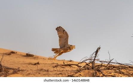 Pharaoh eagle-owl ready to fly, abudhabi, uae